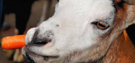 Chèvre mangeant une carotte