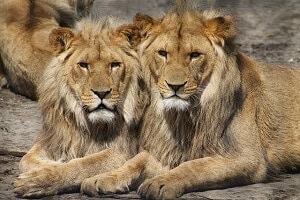 poids lions publicité